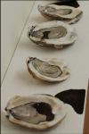 """Gulf Oysters on the Half Shell"" 